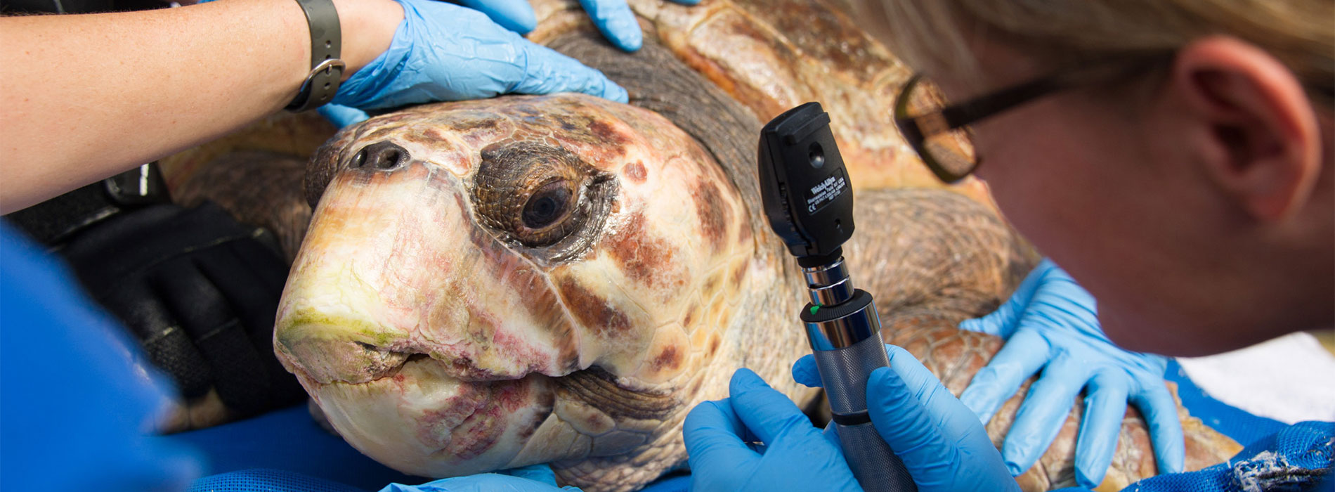 Rescued sea turtle getting an examination.