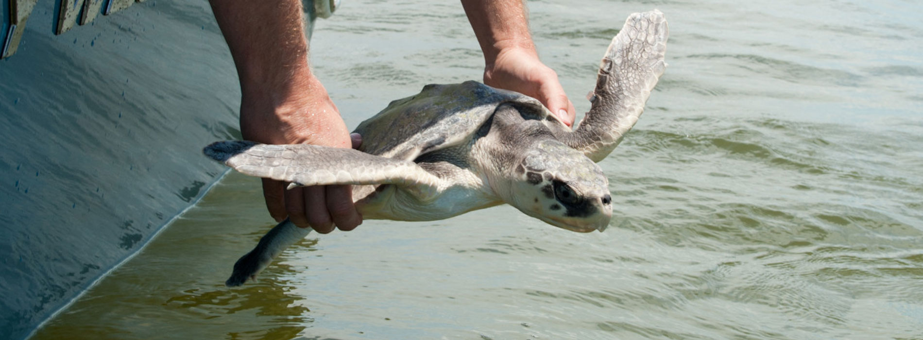 Rescued turtle gets released.