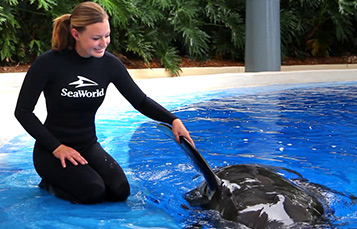 SeaWorld trainer holding pilot whale's fin