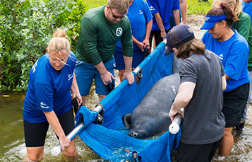 SeaWorld volunteers releasing rehabilitated manatee
