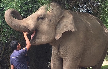 Wildlife Alliance volunteer feeding rescued elephant