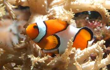 Aquaria World of Fishes Clown Fish