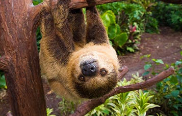 Sloth at Discovery Cove hanging on perch.