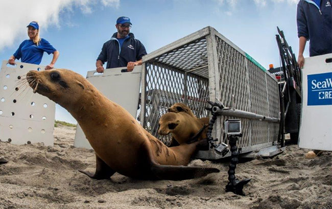 Sea Rescue team releases sea lions