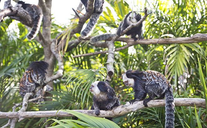 See amazing Marmosets and other animals at Discovery Cove