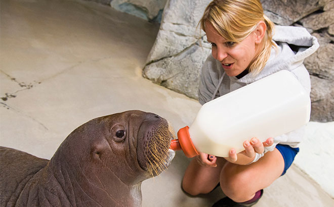 Check out the newest addition to the walrus family at SeaWorld