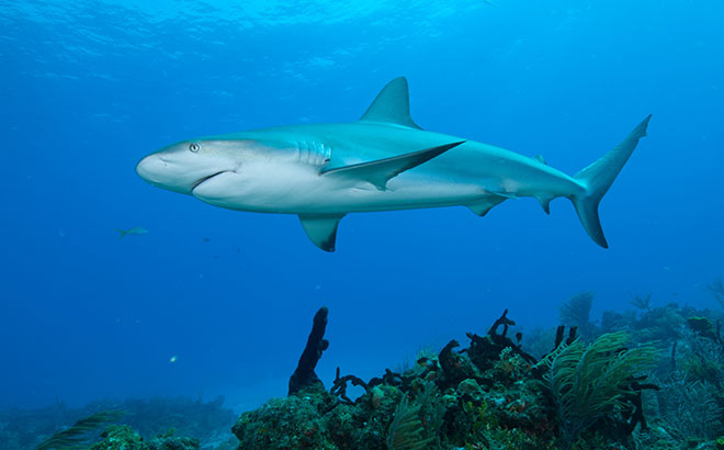 SeaWorld's resue efforts and research helps sharks in the wild.