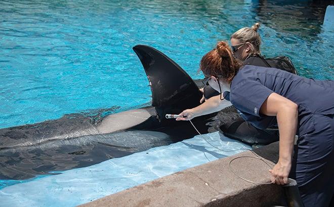 Katina Killer Whale