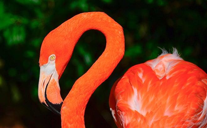Live flamingo