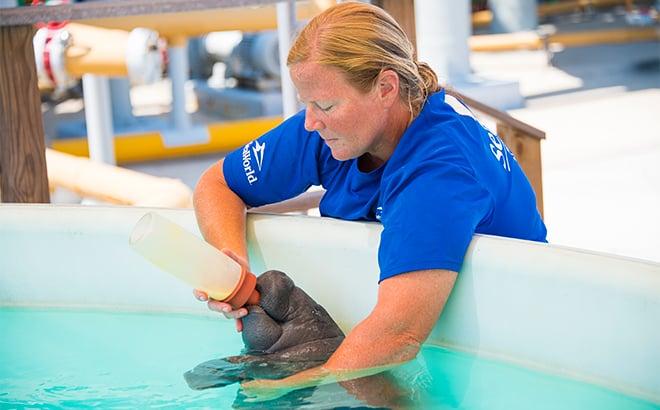 SeaWorld Manatee Rehabilitation Bottle Feed