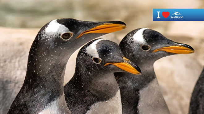 Three Penguins Virtual Conferencing Background Preview