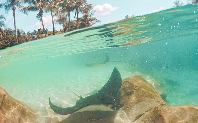 Stingray at Discovery Cove Orlando