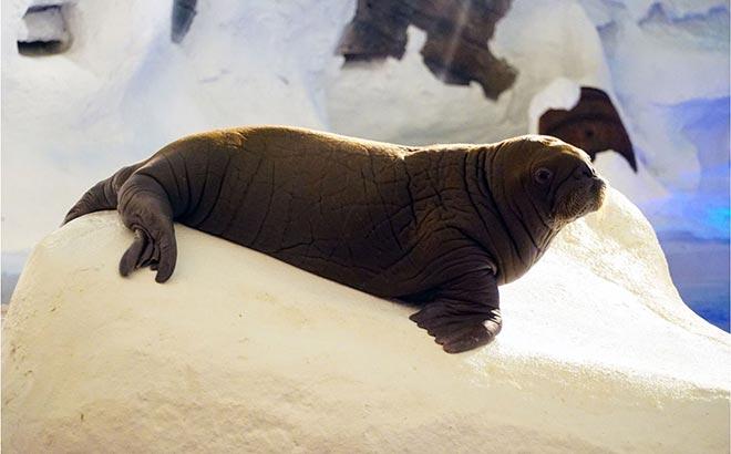 Baby Kora Wild Arctic SeaWorld Orlando