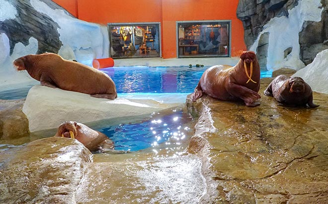 Walrus Family at Wild Arctic SeaWorld Orlando