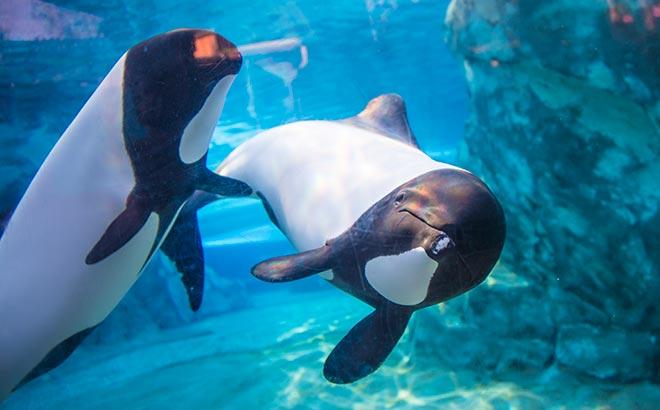 Commersons Dolphins Close Up Tour at Aquatica Orlando