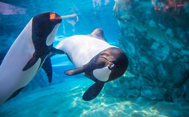Commersons dolphins at Aquatica Orlando