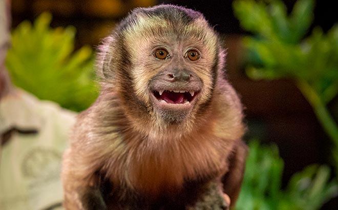 Capuchin Monkey at SeaWorld Orlando Rescue Tails