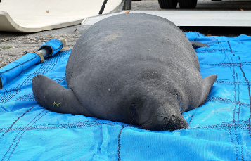 Randall the manatee was returned to the wild today.