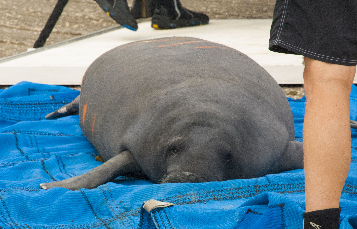 Tom was rescued by SeaWorld in April.