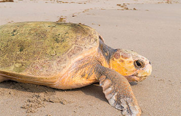 Turtle on the beach. Check out some of our recent turtle rescues.
