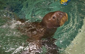 Calfs First Swim