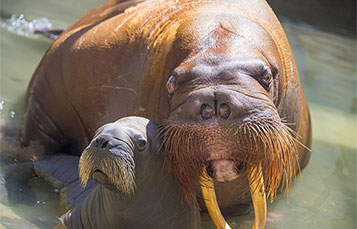 Meet new walrus mother and her baby at Wild Arctic at SeaWorld.