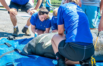 SeaWorld Rescue team helps a local manatee