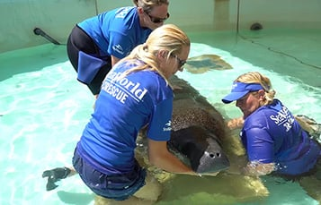 Caring for a Manatee