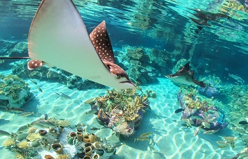 Spotted Eagle Ray Pups Swimming