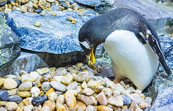 Penguins Nesting Season