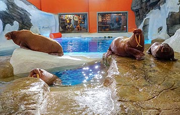 Walrus Family at SeaWorld Orlando