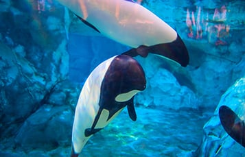 Commerson's Dolphins at Aquatica