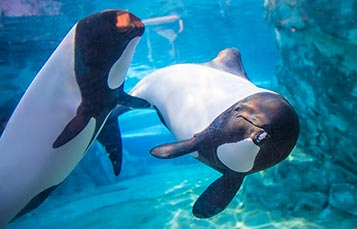 Commersons Dolphins at Aquatica Orlando
