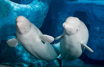 Belugas at Wild Arctic