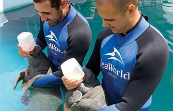 SeaWorld Baby Manatee Rescue