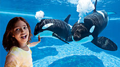 Witness the power and grace of killer whales at SeaWorld.