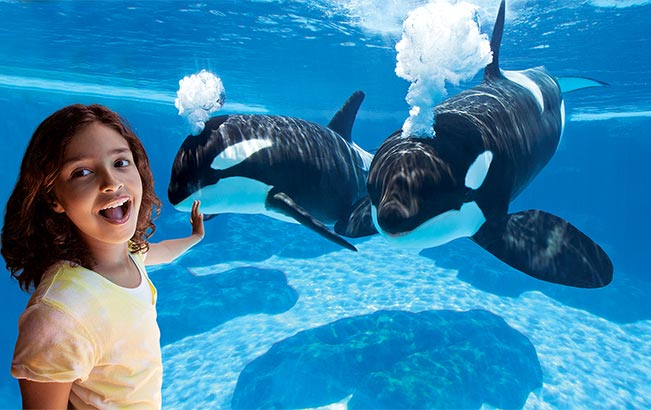 See Killer Whales at our underwater viewing at SeaWorld Orlando