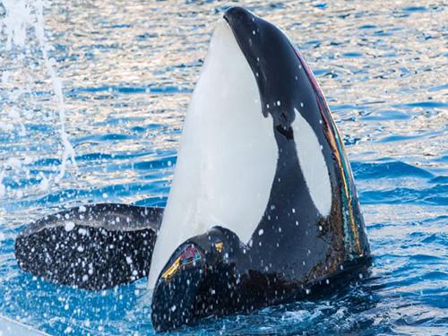 Killer Whale Up Close Tour