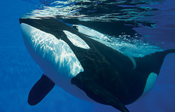 Orca Encounter at SeaWorld San Antonio