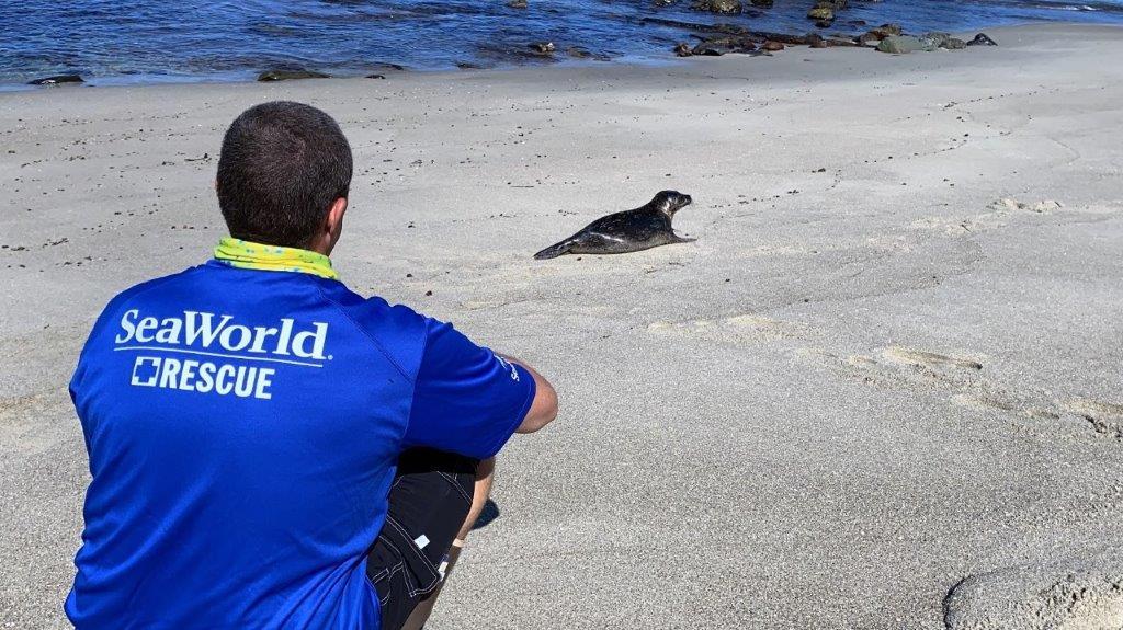 Rehabilitated Harbor Seal