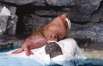 Learn more about Garfield, one of the walruses at Wild Arctic.