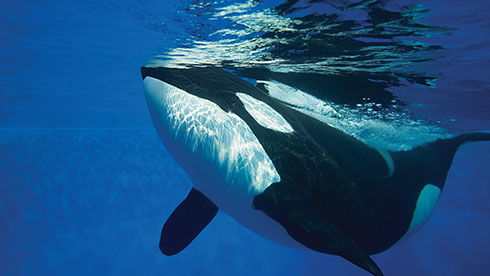 See Orcas at SeaWorld San Antonio