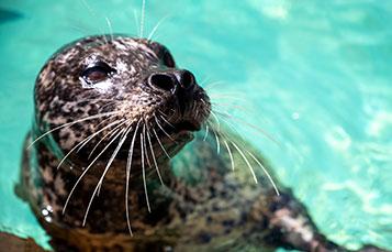 Harbor Seals at SeaWorld San Diego