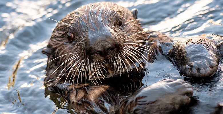 Cinder the Northern Sea Otter at SeaWorld San Diego