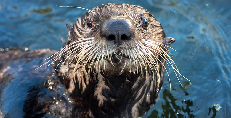 Spruce the Northern Sea Otter at SeaWorld San Diego