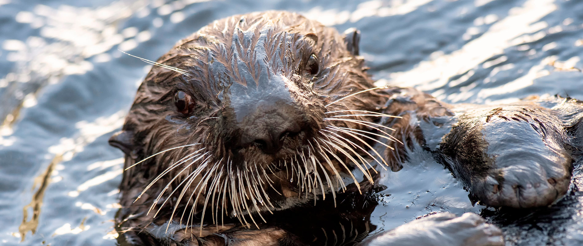 Northern Sea Otters at SeaWorld San Diego