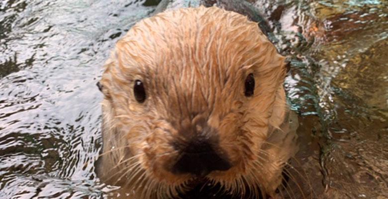 Mocha the Otter
