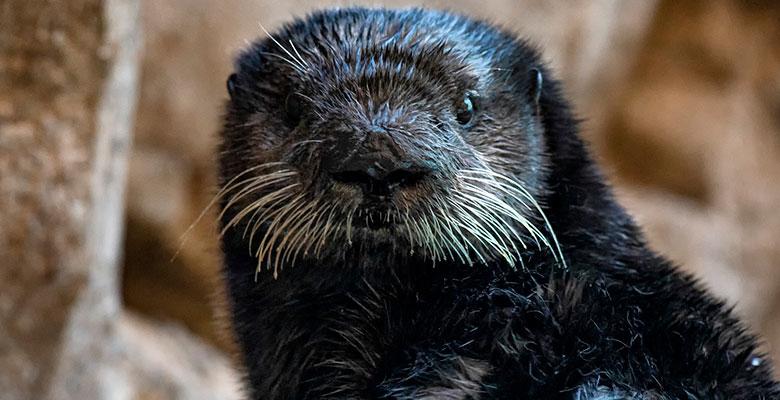 Nova the Otter