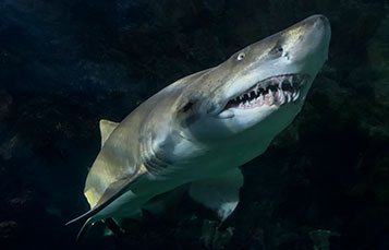 Sharks at SeaWorld San Diego