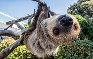 Sloth at SeaWorld San Diego
